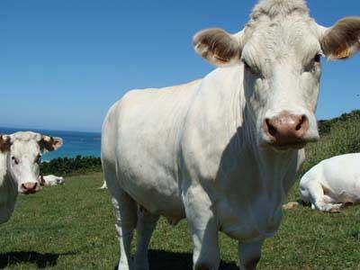 Les vaches de la Maison des producteurs